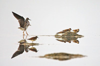 Lesser yellowlegs and semipalmated sandpipers