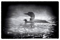 Loon and chick in the fog