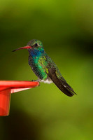 Broad-billed Hummingbird, adult male
