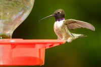 Black-chinned Hummingbird, adult male