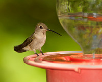 Black-chinned Hummingbird, adult female