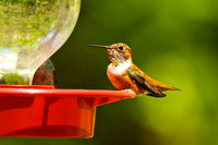 Rufous Hummingbird, adult male breeding plumage