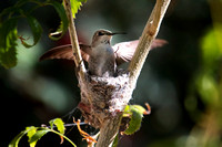 Costa's hummingbird, adult female on nest