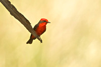 Vermillion Flycatcher, adult male