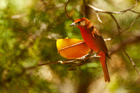 Hepatic Tanager, adult male