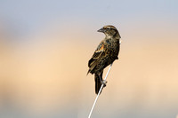 Red-winged blackbird, immature male