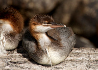 Common merganser chick