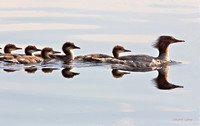 Common merganser female and brood