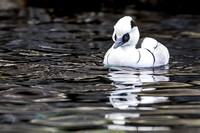 Smew drake, Alaska Sealife Center