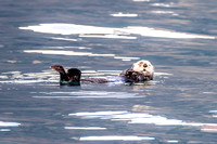 Sea Otter, Resurrection Bay