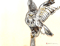 Rough-legged Hawk, illustration art from photo