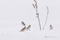 Snow Buntings and Horned Lark
