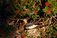 Female Anhinga on nest