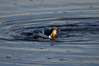 The Cormorant and the Snook, 1