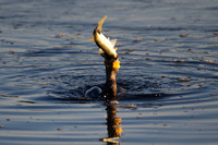 The Cormorant and the Snook, 7