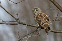 Barred Owl - South East St. Amherst 2-6-13