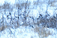 Redpolls and buntings - Cemetery Rd. 1-1-13