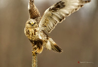 Rough-legged Hawk, light morph