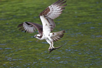 Osprey with alewife