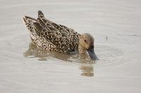 Northern Pintail (F)