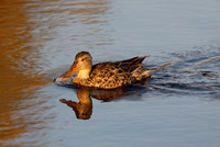 Northern Shoveler female