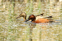 Cinnamon Teal, drake and hen