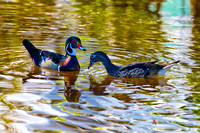 Wood Duck drake and hen