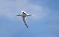 Red-billed Tropicbird:  ventral view