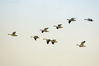 Snow geese Vee formation