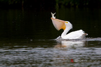 American Pelican scoops up a Snook