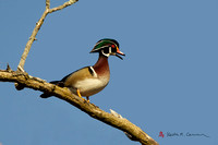 Wood Duck drake in tree