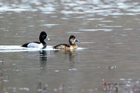 Ring-necked Ducks, drake and hen