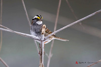 White-throated Sparrow, adult with white-striped plumage