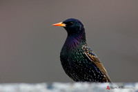 European Starling, breeding plumage