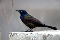 Common Grackle, breeding plumage