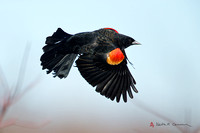 Red-winged Blackbird, adult male