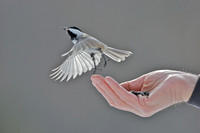 Black-capped chickadee escapes with seed