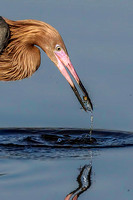 Reddish Egret with small fish