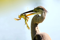 Great Blue Heron with Bullfrog