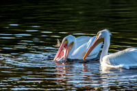 American White Pelicans with Snook