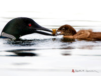 Common Loon feeding Crayfish to chick