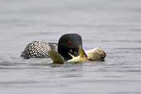Common Loon with Large-mouth Bass