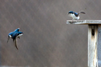 Tree swallows in turf squabble