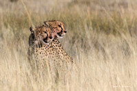 Two young cheetahs looking right