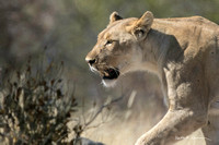 Lioness focused on a kudu at a waterhole