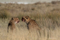 Two young cheetahs after a springbok breakfast