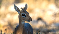 Dik-dik, backlit
