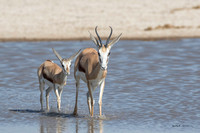 Adult springbok and young calf