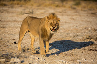 Male lion baring his teeth