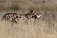 Mother cheetah with springbok head